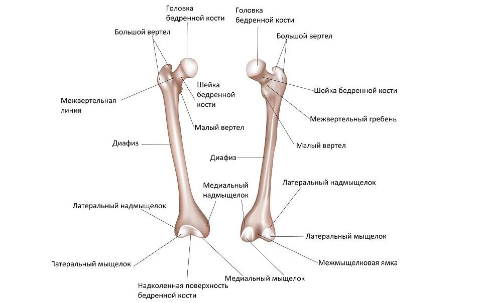 Строение бедренной кости