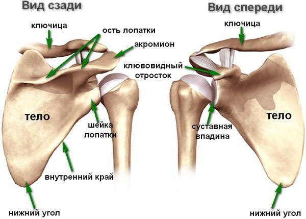 Строение плечевой кости