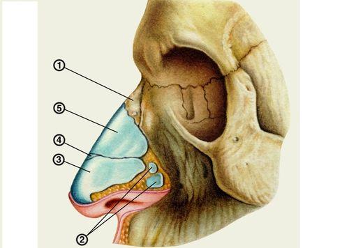 Костно-хрящевой скелет наружного носа