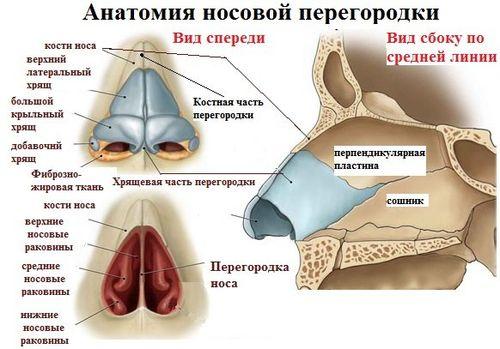 Анатомия носовой перегородки