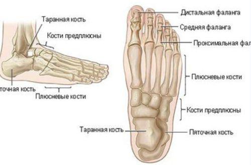 Строение костей пальцев ног