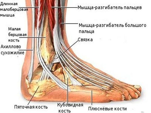 Особенности анатомии голеностопного сочленения